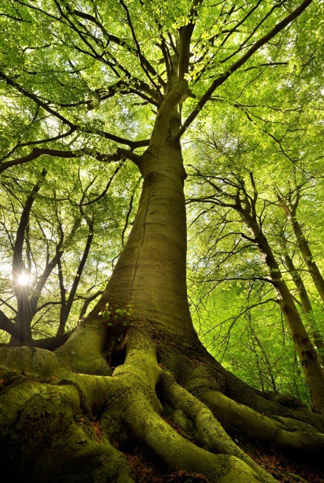 Turkish-mythology-beech-tree