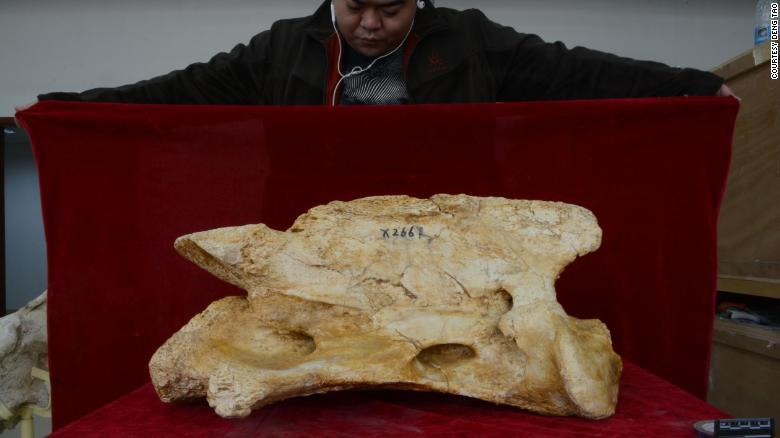 The second vertebra of a Linxia Giant Rhino