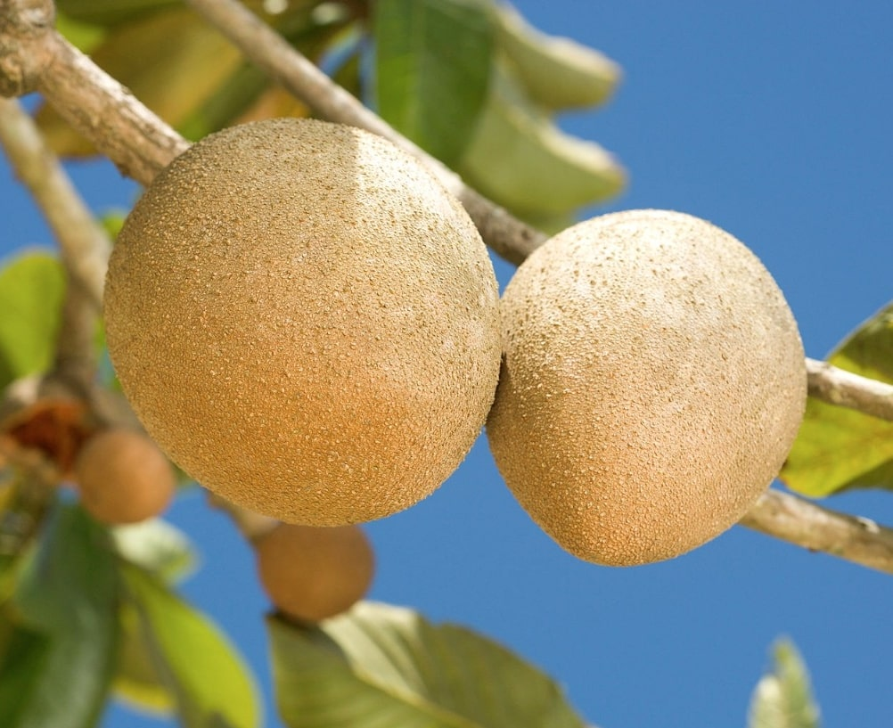 UC researchers found ancient DNA from trees such as Pouteria sapota, which produces fruit called mamey. Photo/Peggy Greb/Wikimedia Commons