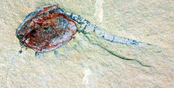 Chuandianella ovata, an extinct shrimp-like crustacean. IMAGE: XIANFENG YANG, YUNNAN KEY LABORATORY FOR PALAEOBIOLOGY, YUNNAN UNIVERSITY