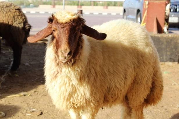 İranian sheep