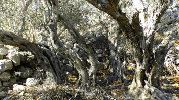The Bidnija olive grove