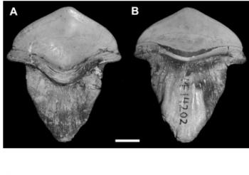 Petalodus shark teeth