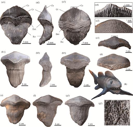 Photographs and restoration of Petalodus ohioensis