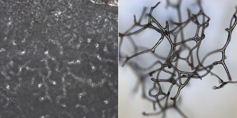 Crystalline tubes seen in rocks (left) might have been formed when the collagen-like skeleton of an 890-million-year-old sponge decayed and fossilized. Some modern sponges have internal scaffolding (right) that resembles the shapes in the rocks. Photo: Elizabeth C. Turner