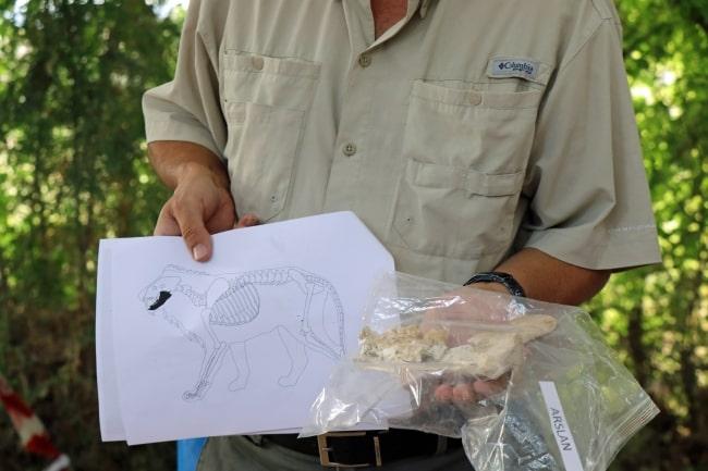4,000-year-old lion jawbone